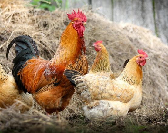 Hahn und Hennen 554x440 - Hühnerstall - für glückliche Hühner